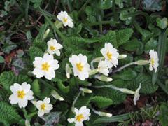 Spring2017_primroses